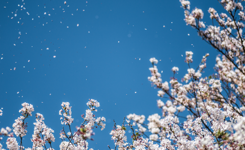 桜の季節がやってきた